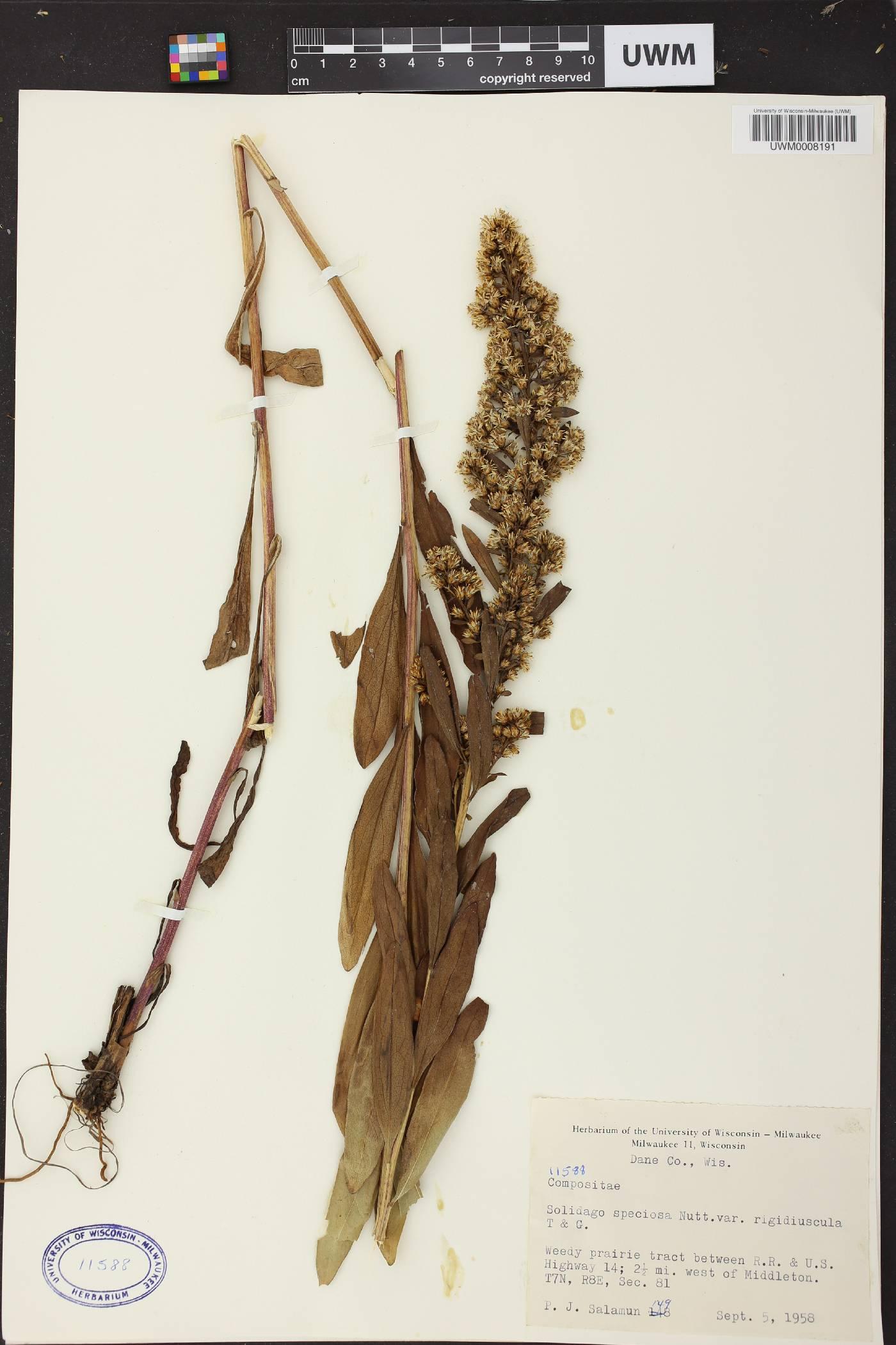 Solidago speciosa subsp. speciosa var. rigidiuscula image