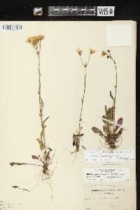 Image of Packera paupercula var. paupercula