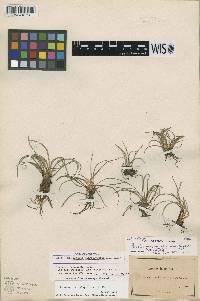 Image of Isoëtes lacustris