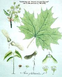Acer platanoides image