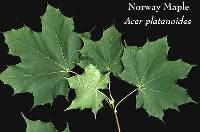 Image of Acer platanoides