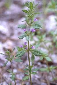 Image of Clinopodium acinos