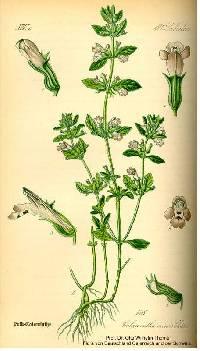 Clinopodium acinos image