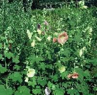 Alcea ficifolia image