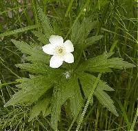 Image of Anemone canadensis