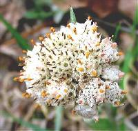 Image of Antennaria parlinii