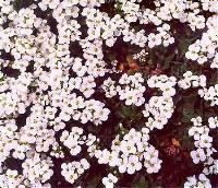 Image of Arabis caucasica