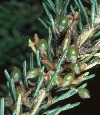 Image of Arceuthobium pusillum
