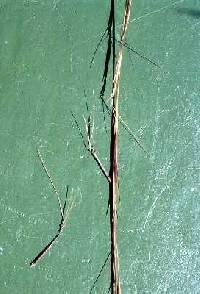Image of Aristida basiramea
