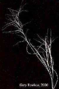Image of Aristida oligantha