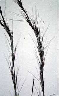 Aristida purpurascens var. purpurascens image