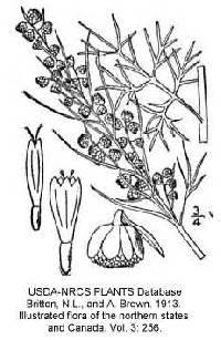 Artemisia abrotanum image