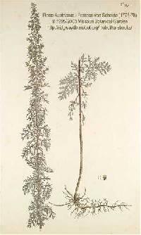 Artemisia pontica image