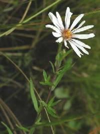 Image of Symphyotrichum boreale
