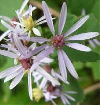Image of Symphyotrichum ciliolatum