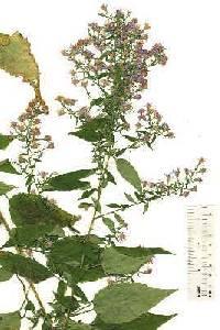 Image of Symphyotrichum cordifolium
