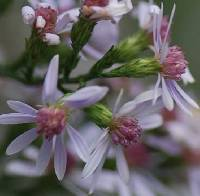 Image of Symphyotrichum urophyllum