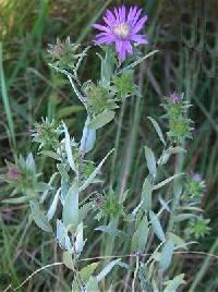Image of Symphyotrichum sericeum