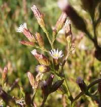 Image of Symphyotrichum subulatum