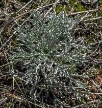 Image of Artemisia
