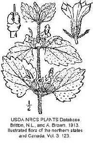 Image of Ballota nigra