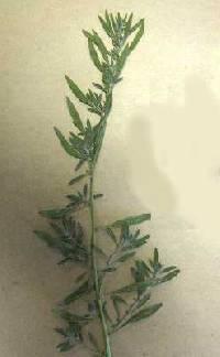 Image of Bassia hyssopifolia