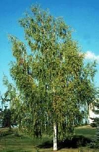 Image of Betula populifolia