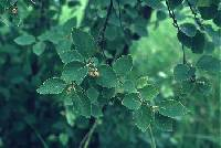Image of Betula x sandbergii