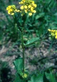 Image of Brassica juncea