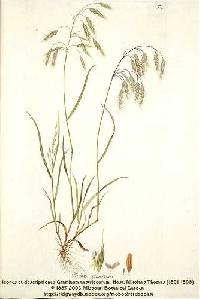Image of Bromus squarrosus