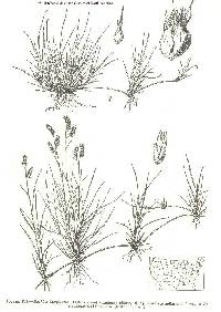 Image of Bouteloua dactyloides