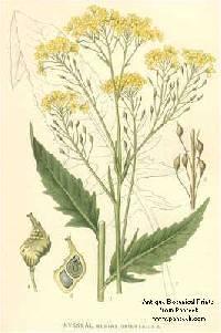 Image of Bunias orientalis