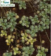 Image of Callitriche marginata