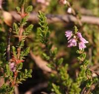 Image of Calluna vulgaris