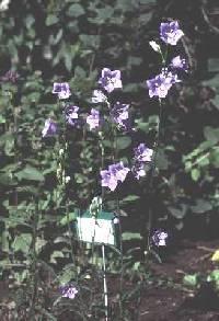 Image of Campanula persicifolia