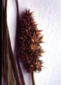 Image of Carex alopecoidea