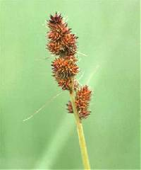 Image of Carex annectens
