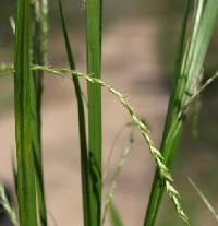 Image of Carex arctata