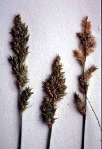 Image of Carex arcta