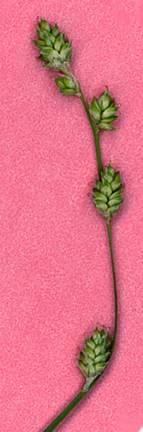 Carex canescens subsp. disjuncta image