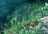 Image of Carex capillaris