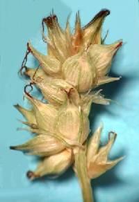 Image of Carex muehlenbergii