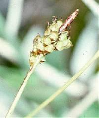 Image of Carex concinna