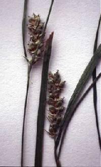 Image of Carex conoidea