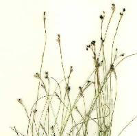 Image of Carex eburnea