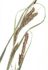 Image of Carex emoryi