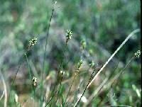 Image of Carex exilis