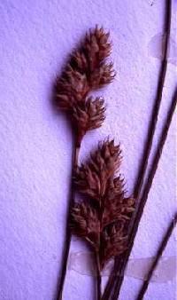 Image of Carex foenea