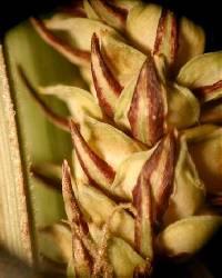 Image of Carex haydenii