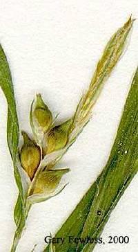 Image of Carex hitchcockiana